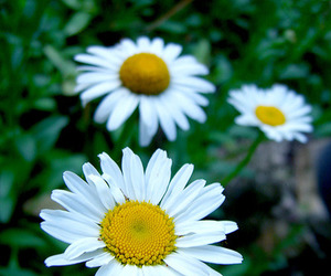 daisy, flower, and photography image