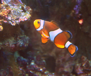 coral, nemo, and fish image