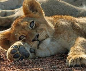 lion, cub, and lion cub image