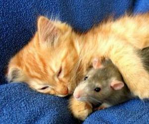 rat, sleep, and red cat image