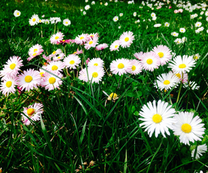 colors, daisy, and dasies image