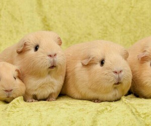animal, pretty, and guiena pig image