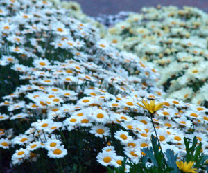 daisies, spring, and summer image