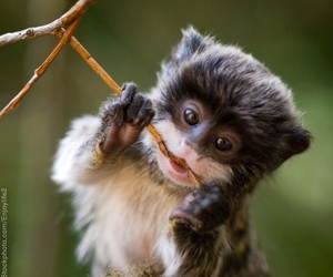 monkey, cute, and tamarin image