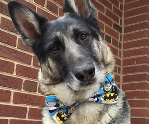 batman, bow tie, and dog image