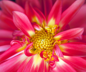 dahlia, floral, and flower image