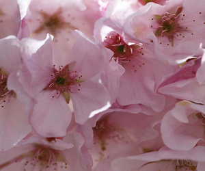 botanical, cherry blossoms, and floral image