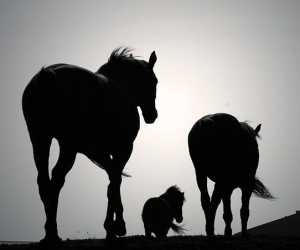 horse, black and white, and family image