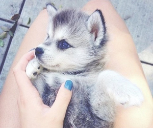 husky and puppy image