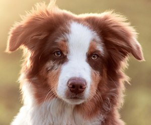 australian shepherd, dogs, and baby animals image