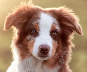 australian shepherd, baby animals, and cute animals image
