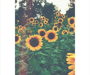 flowers, sunflowers, and wallpaper image