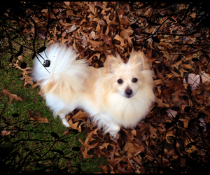dog, fluffy, and puff image