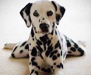 dog, dalmatian, and cute image