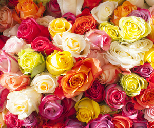 colorful, rose, and many image