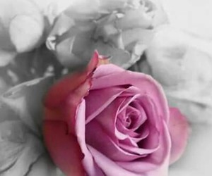 flowers, rose, and lovely image