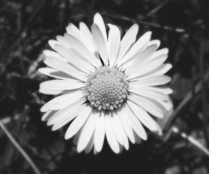 beautiful, black and white, and daisy image