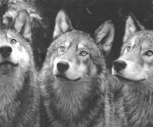 wolf, wolves, and nature image