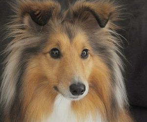 dog, animals, and sheltie image