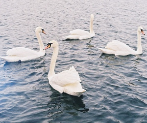 Swan, photography, and vintage image