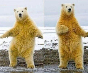bear, dance, and funny image
