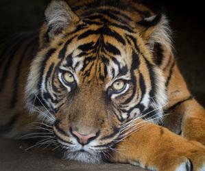 nikon, tiger, and tigress image