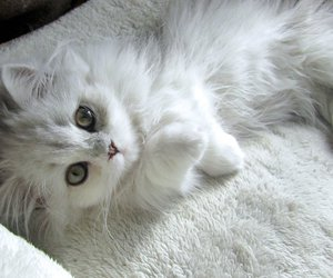 adorable, animal, and white cat image