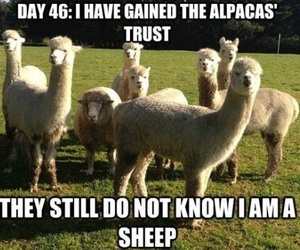 funny, sheep, and alpaca image