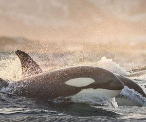 orca, animal, and whale image