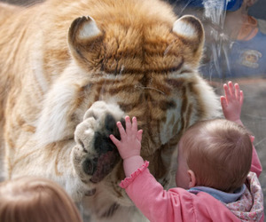 baby, tiger, and cute image