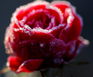cold, flower, and frost image