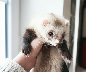 ferret, pet, and cute image