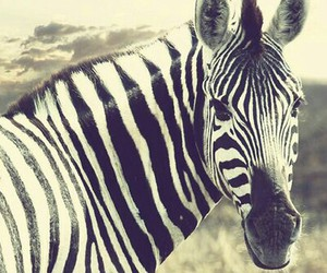 animal, black and white, and zebra image