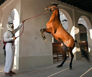 horse and عربي image