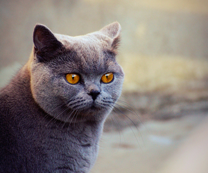 blue, cat, and british shorthair image
