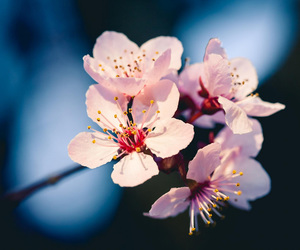 bloom, cherry blossom, and floral image