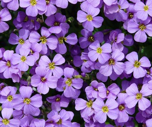 beautiful, blooms, and purple image