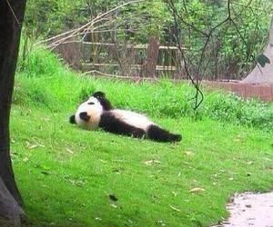 panda, animal, and funny image