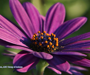 daisy, floral, and flower image