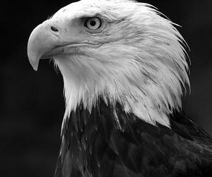 animal, eagle, and bird image