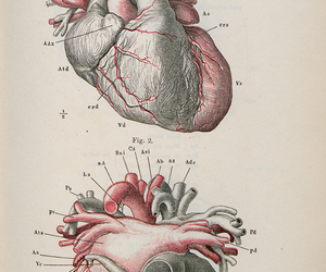 anatomical, heart, and medicine image