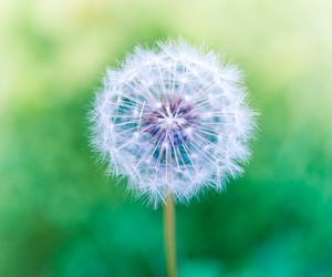 dandelions, flowers, and nature photography image