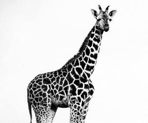 animal, black and white, and giraffe image