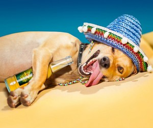 beer, chihuahua, and drunk image