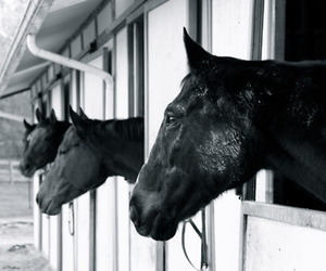 beautiful, black and white, and equine image