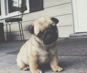 pug, cute, and dog image