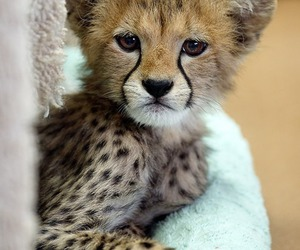 animal, cute, and cheetah image