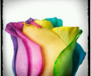 colorful, rainbow, and rose image