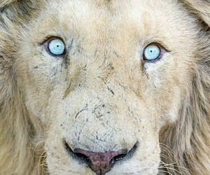 lion, animal, and eyes image