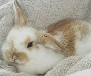 bunny, holland lop, and rabbit image